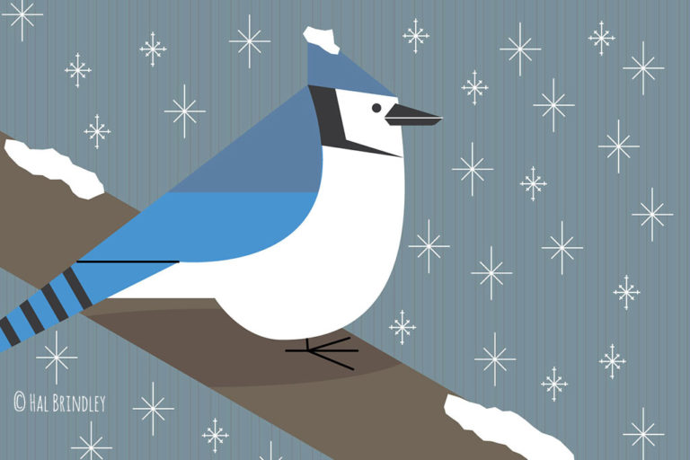 blue jay illustration