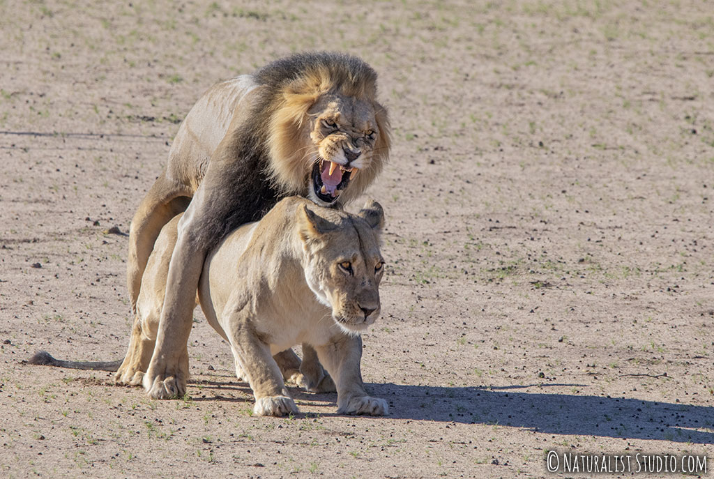 lion snarling and mating