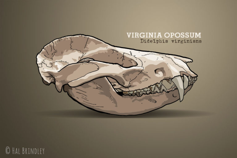 Opossum skull illustration