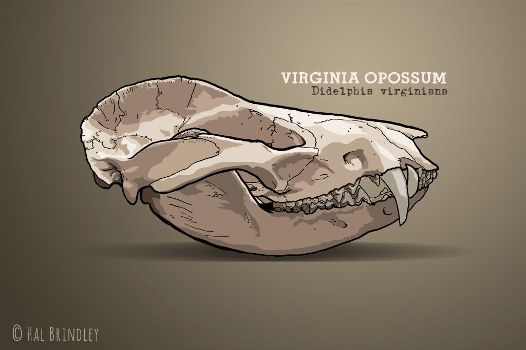 Opossum skull illustration