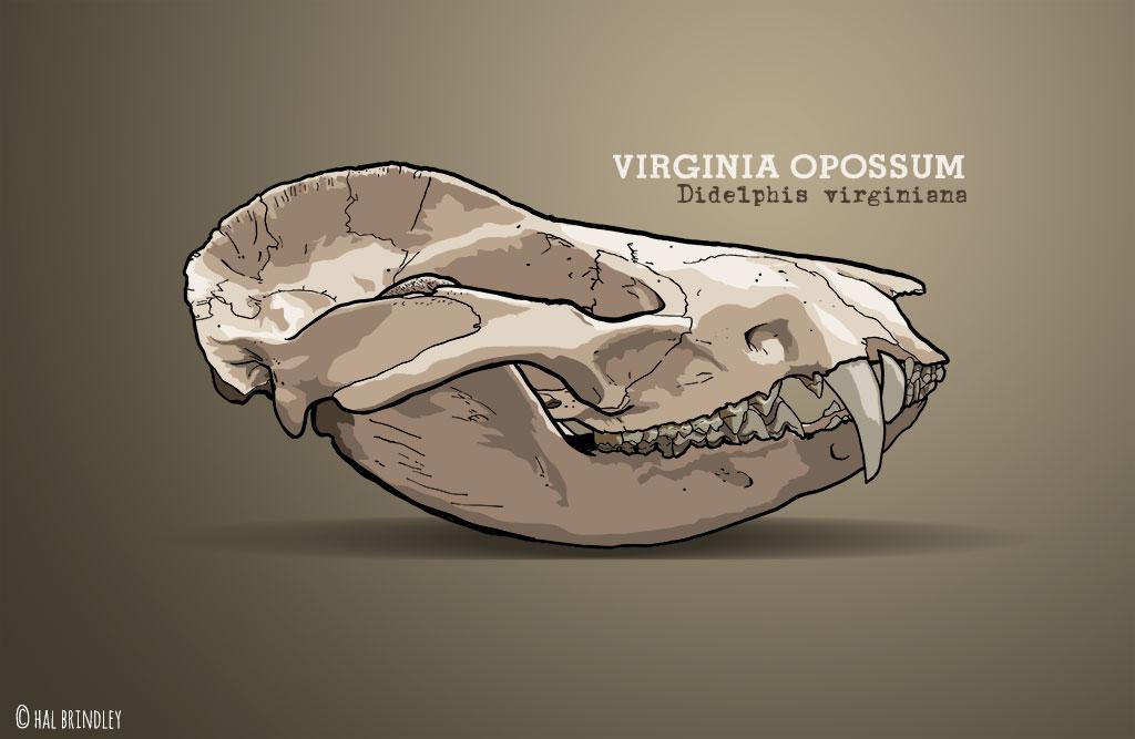 Virginia Opossum skull illustration